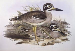 biology/zoology illustrations/beach thick knee esacus magnirostris burhinus