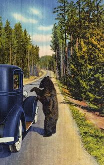 Bear Begging for Food. ca. 1934, Yellowstone National Park, Wyoming, USA, 1047 A BEAR BEGGAR