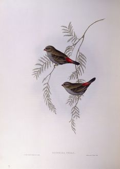 biology/zoology illustrations/beautiful firetail stagonopleura bella engraving
