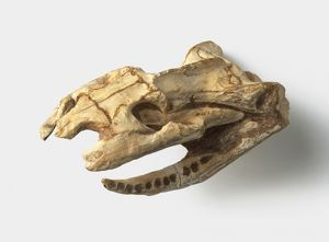 Diapsid - Dinilysia: Skull and lower jaws.