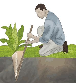 Digital composite illustration of man digging in soil for large root of edible plant