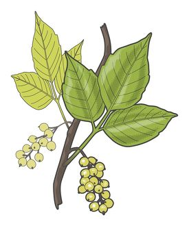 Digital illustration of Toxicodendron radicans (Poison ivy), green leaves and berries
