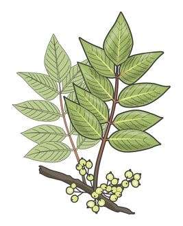 Digital illustration of Toxicodendron vernix or Rhus vernix (Poison Sumac), leaves