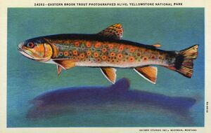 Eastern Brook Trout. ca. 1935, Yellowstone National Park, Wyoming, USA, 24282--EASTERN