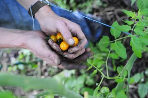 England, Lancashire, Muddy hands holding freshly picked Golden Queen cherry tomatoes