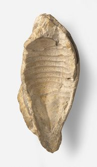 External shell of fossilized Cyclosphaeroma