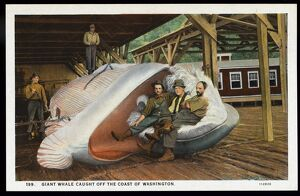Fishermen with Giant Whale. ca. 1926, Washington, USA, GIANT WHALE CAUGHT OFF THE