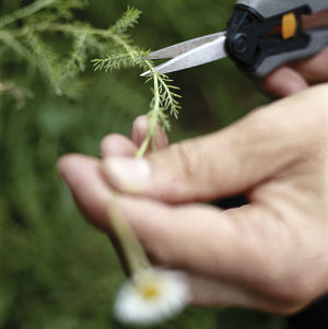 Focus on using special gardening scissors to cut Roman Chamomile, stem, focused, unfocused
