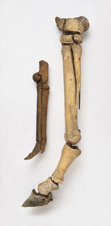 Leg bone of modern horse next to leg bone of early horse