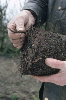 Man's hands seperating or disentangling the roots at the base of a container
