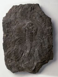 Olenellus fossil, a type of trilobite, close-up
