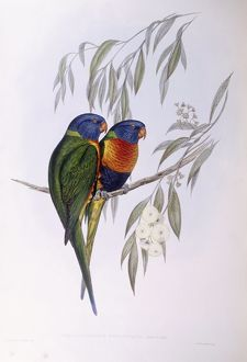 biology/zoology illustrations/ornate lorikeet trichoglossus ornatus engraving