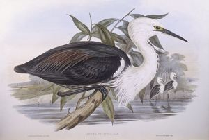 biology/zoology illustrations/pacific heron ardea pacifica engraving john