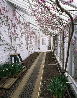 Peach and nectarine blossom on espalier trained fans in a traditional lean-to greenhouse