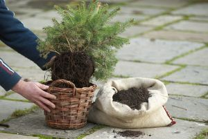Placing fir tree in wicker basket