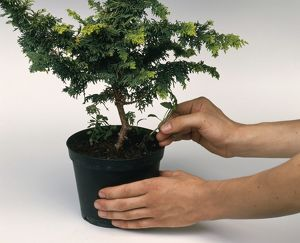 Pulling out weeds from plant pot containing small tree