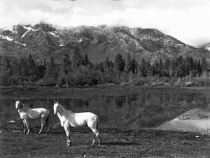 Two White Horses By A Pond