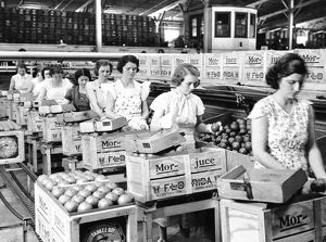 Women packing oranges in a packing plant