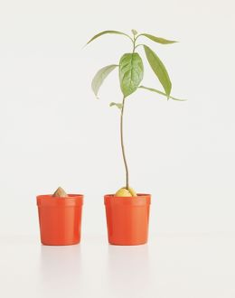 A young sapling in a pot alongside another pot with a seed and nothing growing from it.