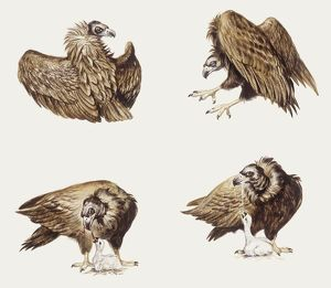 biology/zoology illustrations/zoology birds eurasian black vulture aegypius