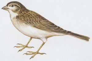 biology/zoology illustrations/zoology birds greater short toed lark calandrella