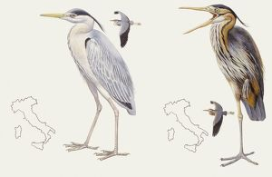 biology/zoology illustrations/zoology birds grey heron ardea cinerea purple