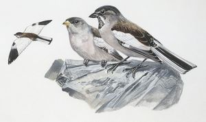 biology/zoology illustrations/zoology birds white winged snowfinch montifringilla